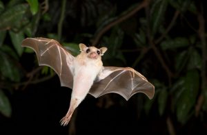 صورة خفاش الفاكهة  الإيبولا و علاجات جديدة في الكونغو