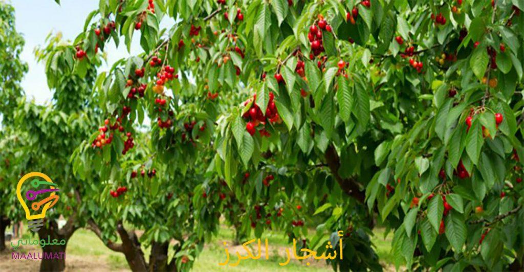 الكرز...حقاً انها فاكهة سحرية!!!